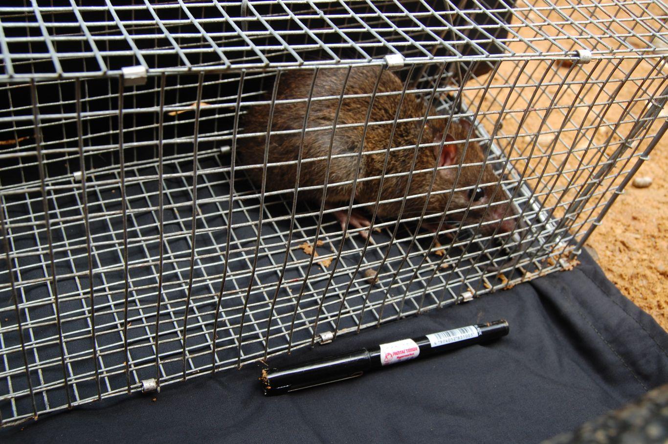 Gambar 6. Tikus Lembah Sundamys muelleri