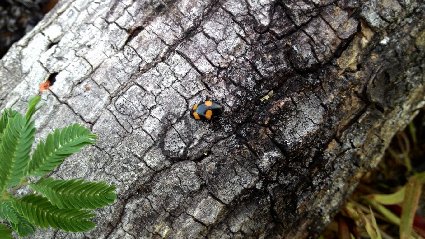 gambar-4-kumbang-kulat-fungus-beetle