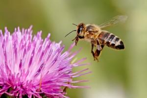 lebah bunga