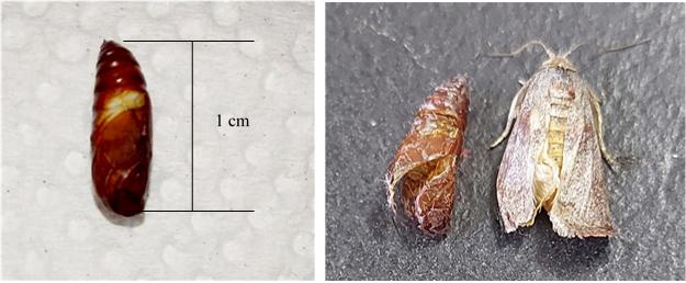 (b) Larva (ulat petai) akan berubah kepada pupa yang berwarna perang gelap dalam anggaran saiz 1 cm dan seterusnya keluar daripada pupa dalam bentuk rama-rama